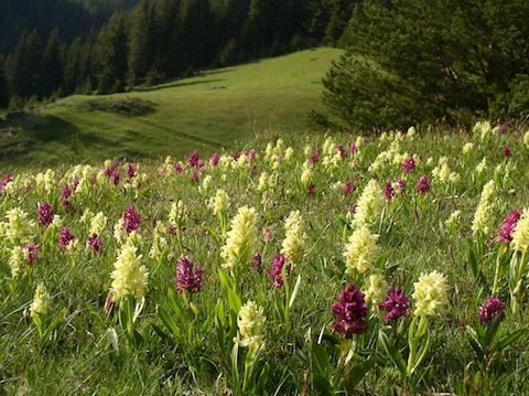 Orchid Holiday in Bulgaria's Rodopi Mountains