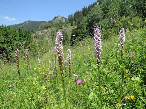 Orchid Holiday in Bulgaria's Western Rhodope Mountains