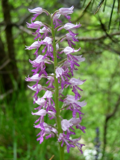 Botanical Orchid Holidays in Bulgaria's Western Rodopi (Rhodope) Mountains